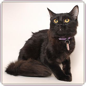 Domestic Mediumhair Cat for adoption in Glendale, Arizona - Elegance