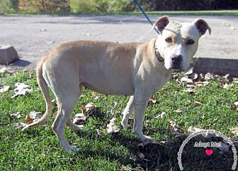 Labrador Retriever/Pit Bull Terrier Mix Dog for adoption in Sidney, Ohio - Delilah