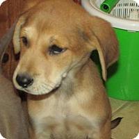 Adopt A Pet :: Shamus - Rocky Mount, NC