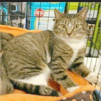 Adopt A Pet :: Missy - shy & snuggly - Madison, TN