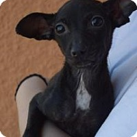 Chihuahua Dog for adoption in Providence, Rhode Island - Raisin DBR in RI