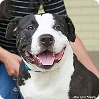 Adopt A Pet :: Domino - Huntsville, AL