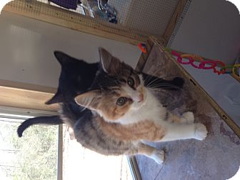 Calico Kitten for adoption in Aiken, South Carolina - Zoey