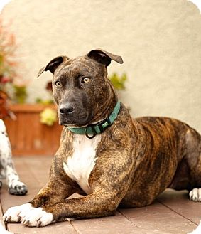 Bull Terrier/American Staffordshire Terrier Mix Dog for adoption in Valley Village, California - Roxy