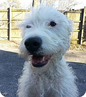 Westie, West Highland White Terrier Mix Dog for adoption in Richmond, Virginia - Biscuit