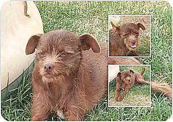 Terrier (Unknown Type, Small) Mix Dog for adoption in San Antonio, Texas - Lexi