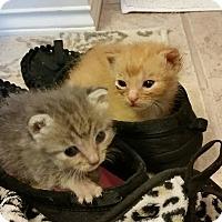 Adopt A Pet :: Chance - Bentonville, AR