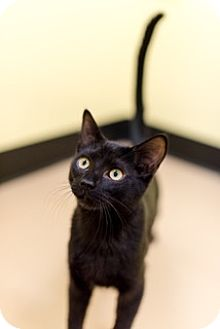 Domestic Shorthair Cat for adoption in Gainesville, Virginia - Cody