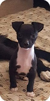 Chihuahua Mix Puppy for adoption in Golden Valley, Arizona - Boomer