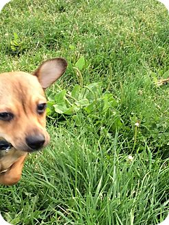 Chihuahua Mix Dog for adoption in Buffalo, Wyoming - Bear