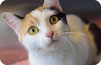 Domestic Mediumhair Cat for adoption in Sierra Vista, Arizona - Inara