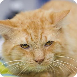 Domestic Shorthair Cat for adoption in Adrian, Michigan - Buddy