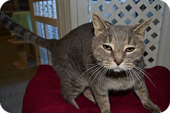 Domestic Shorthair Cat for adoption in Michigan City, Indiana - BigBoy