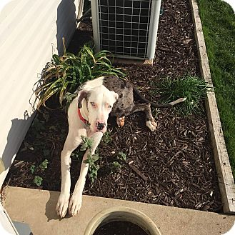 Great Dane Dog for adoption in Oswego, Illinois - Goofus