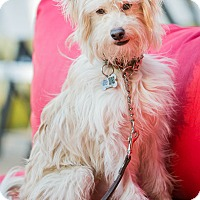 Wheaten Terrier/Terrier (Unknown Type, Small) Mix Puppy for adoption in West LA, California - Walter