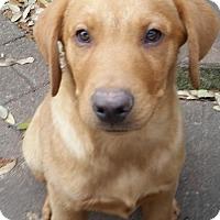 Adopt A Pet :: Buzz - Denton, TX