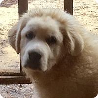 Adopt A Pet :: Boomer - Staunton, VA