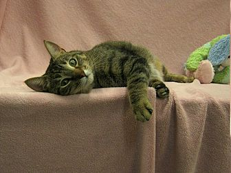 Domestic Shorthair Cat for adoption in Redwood Falls, Minnesota - Sweet Pea
