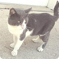 Domestic Shorthair Cat for adoption in Cincinnati, Ohio - Stormy