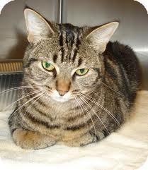 Domestic Shorthair Cat for adoption in Lancaster, Massachusetts - MewMew
