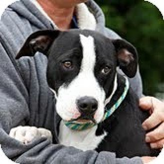 American Pit Bull Terrier Mix Dog for adoption in richmond, Virginia - Domino