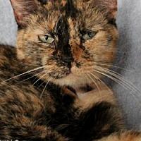 Domestic Mediumhair Cat for adoption in Savannah, Missouri - Gigi
