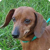 Adopt A Pet :: Ruby - Erwin, TN