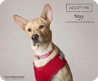 Shepherd (Unknown Type)/Labrador Retriever Mix Puppy for adoption in Phoenix, Arizona - May