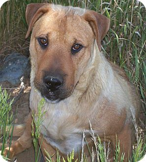 Labrador Retriever/Shar Pei Mix Dog for adoption in Questa, New Mexico - Momma