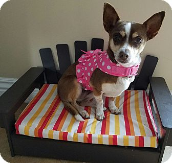 Chihuahua Mix Dog for adoption in San Diego, California - Abigail