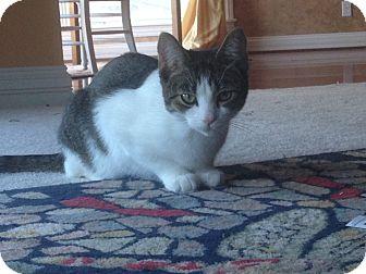Domestic Shorthair Cat for adoption in Bentonville, Arkansas - Little Bit