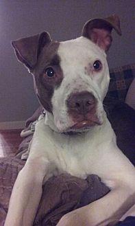 Pit Bull Terrier Mix Dog for adoption in Dayton, Ohio - Evie