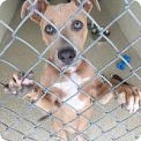 Adopt A Pet :: Holly Hock - Encinitas, CA