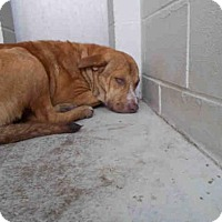 Labrador Retriever Mix Dog for adoption in Rosenberg, Texas - A010785