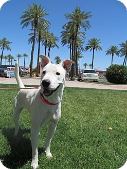 Bull Terrier/Labrador Retriever Mix Dog for adoption in Scottsdale, Arizona - Skittles