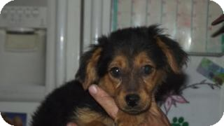 Yorkie, Yorkshire Terrier/Poodle (Standard) Mix Puppy for adoption in Edon, Ohio - Princess Jasmine...ADOPTED