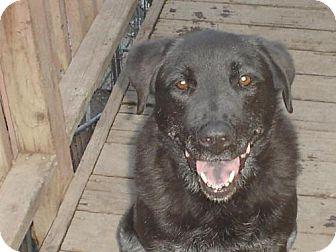 Labrador Retriever Dog for adoption in Atascadero, California - Luke