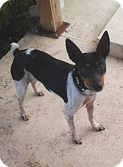 Rat Terrier Mix Dog for adoption in Jacksonville, Florida - Rabbit