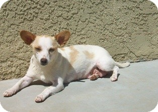 Chihuahua Mix Dog for adoption in Tustin, California - Buttercup