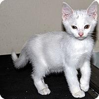 Adopt A Pet :: Snowy - Xenia, OH