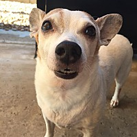 Jack Russell Terrier/Dachshund Mix Dog for adoption in Phoenix, Arizona - Jak