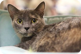 Domestic Shorthair Cat for adoption in Gainesville, Virginia - Amy