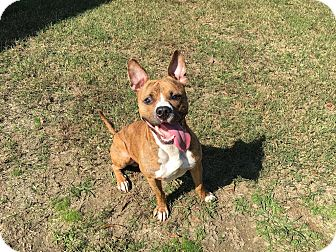 American Pit Bull Terrier Mix Dog for adoption in Colonial Heights animal shelter, Virginia - Bolt