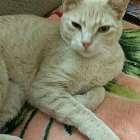 Domestic Shorthair Cat for adoption in Lawton, Oklahoma - BUDDY