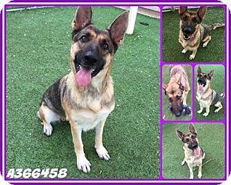 German Shepherd Dog Dog for adoption in SAN ANTONIO, Texas - IRIS