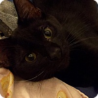 Bombay Kitten for adoption in Browns Mills, New Jersey - Rolly