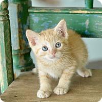 Adopt A Pet :: Acacia - San Antonio, TX