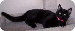Domestic Shorthair Kitten for adoption in Colorado Springs, Colorado - K-Nicholas3-Blackberry