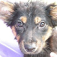 Adopt A Pet :: Ruffles - Albany, NY