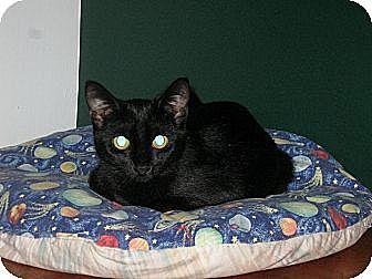 Domestic Shorthair Kitten for adoption in Hamilton, New Jersey - Bonnie